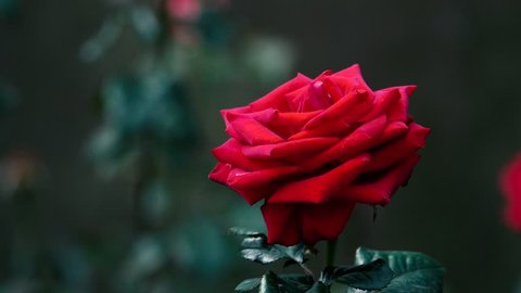 Red rose flower. Royalty high-quality stock video footage beautiful single red rose flower with vintage color in garden