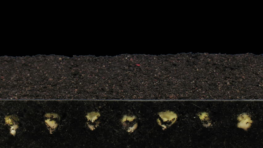 Time-lapse of growing maize vegetables 6a3 in RGB + ALPHA matte format isolated on black background  | Shutterstock HD Video #34990720