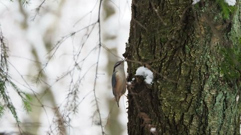 Eurasian nuthatch or wood nuthatch (Sitta europaea) hides food into tree bark. Colorful bird in winter forest.