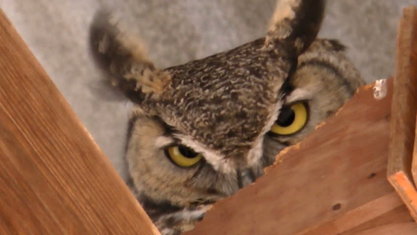 Great horned owl, with penetrating yellow eyes, ears flapping in wind, stares down a warning from perch atop wooden rafters, close up. 1080p