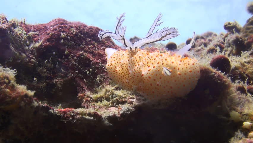 Rare shot of nudibranch mating, including penetration, Clip 1 of 5