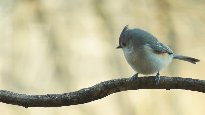 Tufted Titmouse mated pair, winter in Georgia