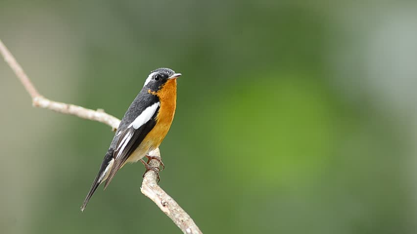 Bird (Mugimaki Fiycatcher) , Thailand #3520475