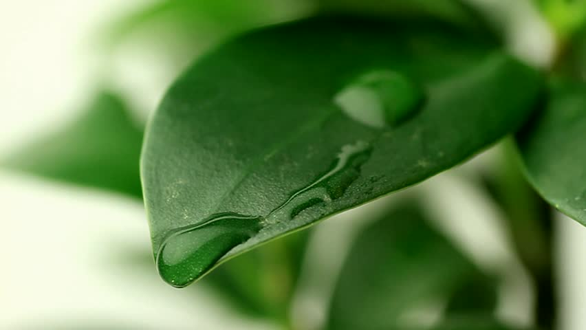 Dew or rain drop moving on ginseng leaf   Shutterstock HD Video #3520490