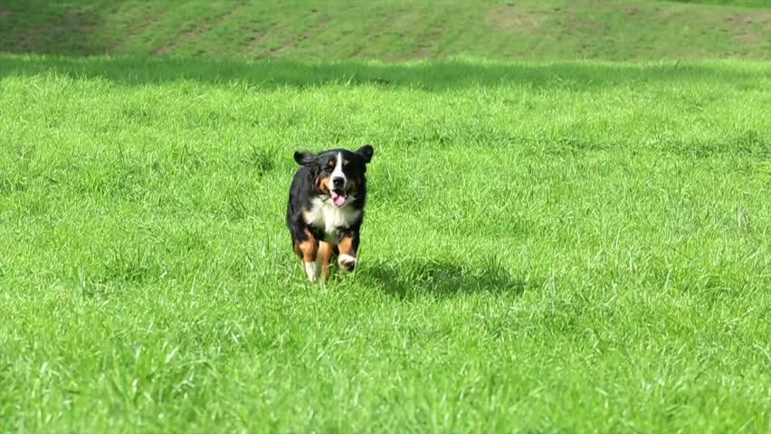 Bernese Mountain Dog running