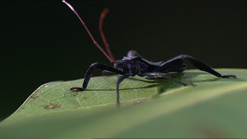 Assassin bug on leaf