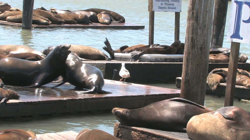Sea lions at Pier 39, San Francisco, USA. Animals are heated on wooden