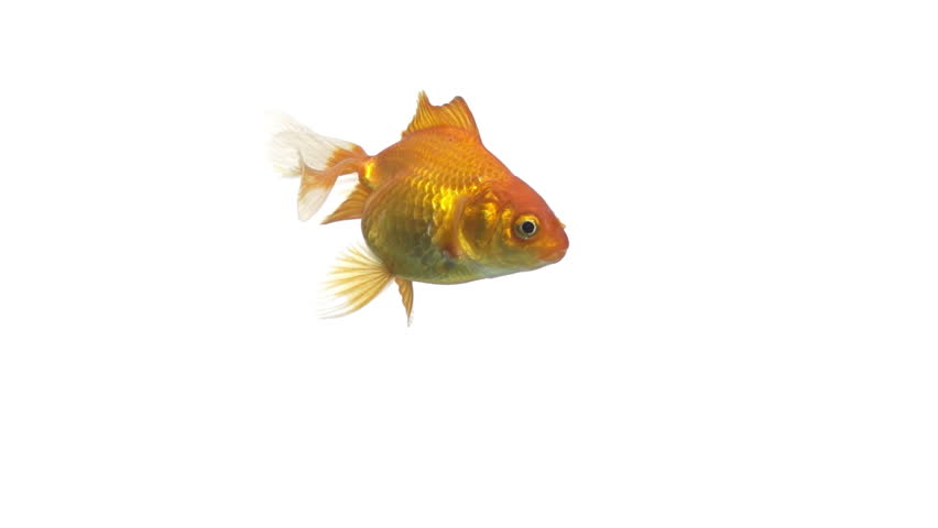 single goldfish animal isolated on white background | Shutterstock Video #3618269
