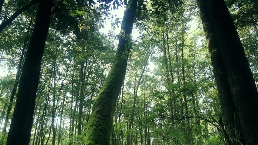 Full HD clip that shows morning in beautiful wood, with old, great trees. Green, big forest in spring.