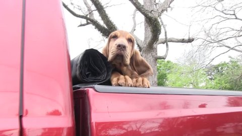 Bloodhound in back of pickup truck