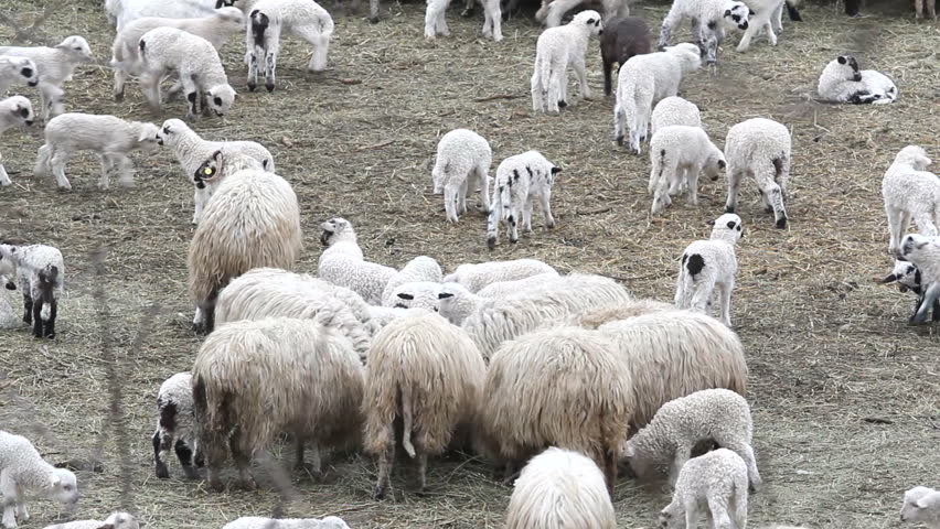 Flock of lams and sheep feeding in the sheepfold