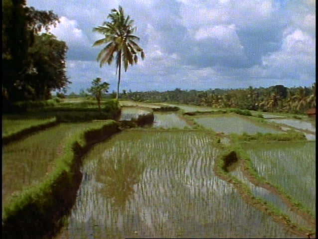 Bali, rice fields in jungle, lush, green, palms, rice terraces, wide shot, pan right