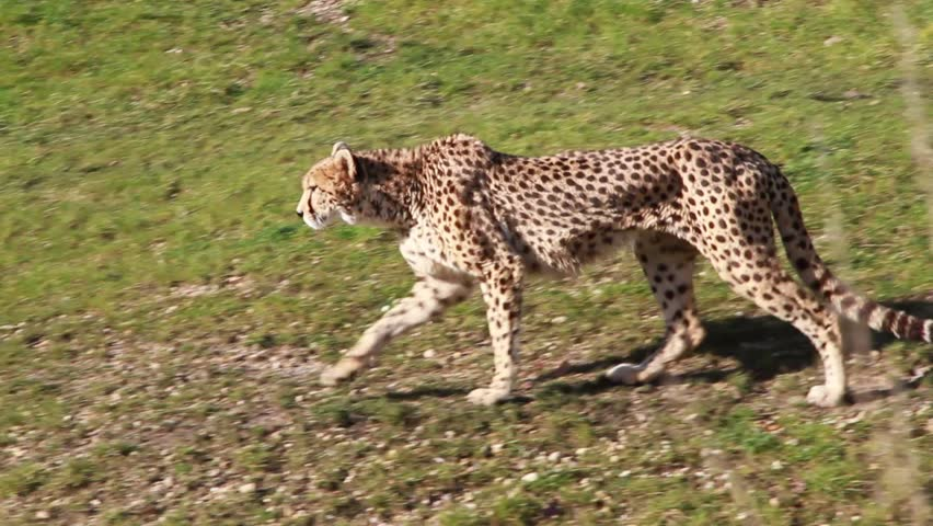 Leopard Walking, Wild, Free  Free Stock Footage Video (100% Royalty-free)  3713825 | Shutterstock