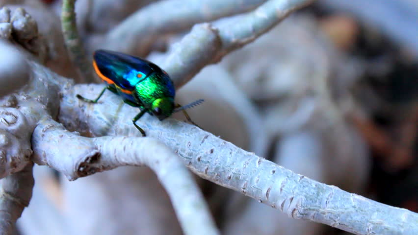 Header of Buprestidae