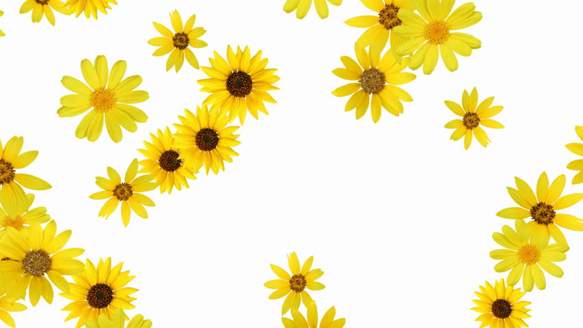 Floral background (sunflower) - alpha, looping animation