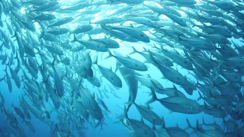 A school of Bigeye jacks (Caranx sexfasciatus) is parted by a bottlenose dolphin