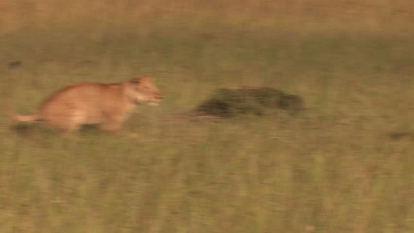Lions in the high jump - Playing