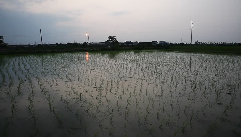 young rice sapling in the field near sunset