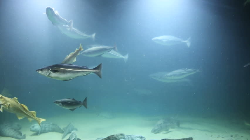 Arctic fish swimming in shallow water