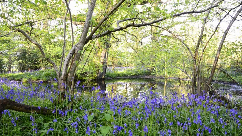 Woodland pond surrounded by bluebells