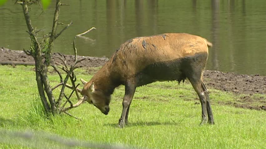 Swamp with Pere David's Deer (Elaphurus davidianus) in rut scrubs antlers against tree. Nowadays Pere David's Deer is known only in captivity.