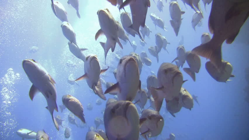 Right in the middle of a HUGE Jack Fish shoal! A large shoal of Jacks cruise past in the Red Sea