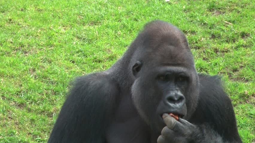 Gorilla male eating