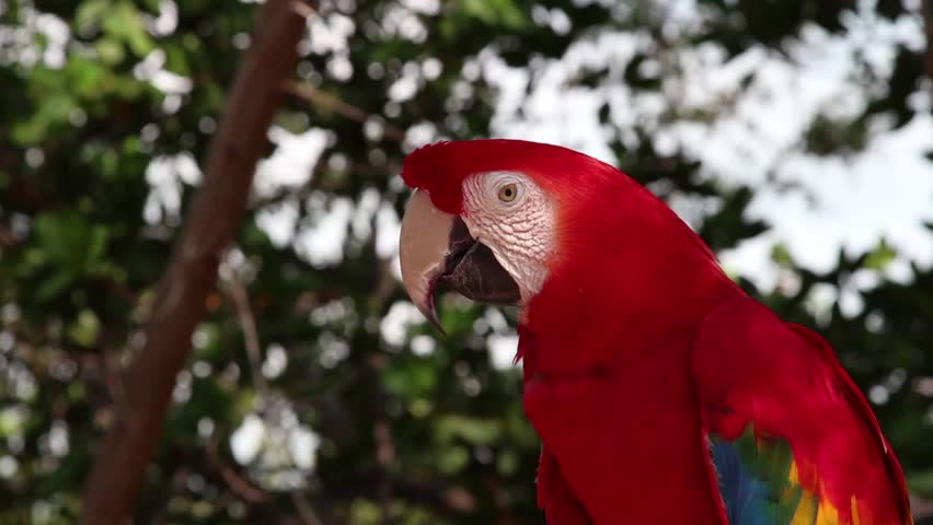 A beautiful Scarlet Macaw