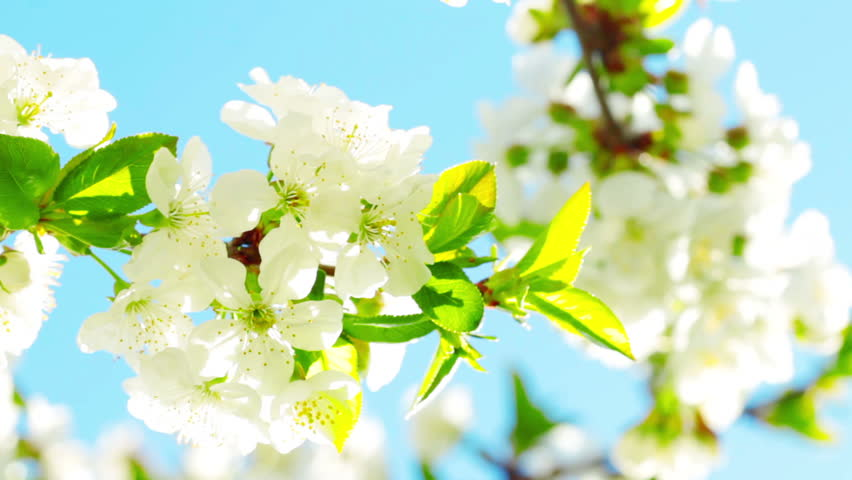 Stock video of apricot flowers blooming in spring 3935885 stock video of apricot flowers blooming in spring 3935885 shutterstock mightylinksfo