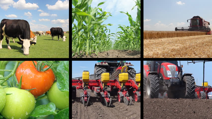 Agriculture - food production, planting corn, soybean, sunflower, harvest wheat, tractor working, tomato, farm animal, cow, pig, chicken. Split screen, several different footages in collage | Shutterstock HD Video #3953681