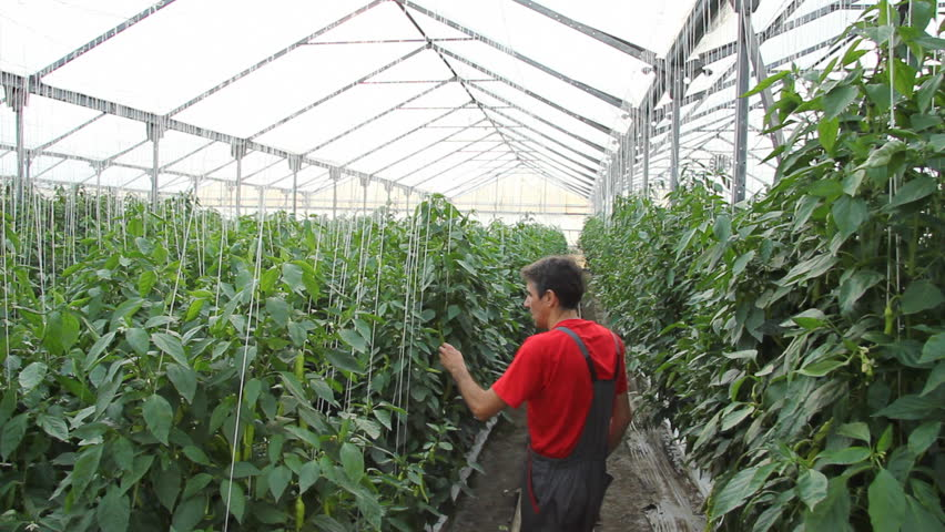 Greenhouse Pepper Production  Farmer Checking Stock Footage Video (100%  Royalty-free) 3991975 | Shutterstock