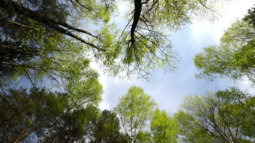 High angle view looking up at the top of the wind swinging giant hardwood trees in the pure forest