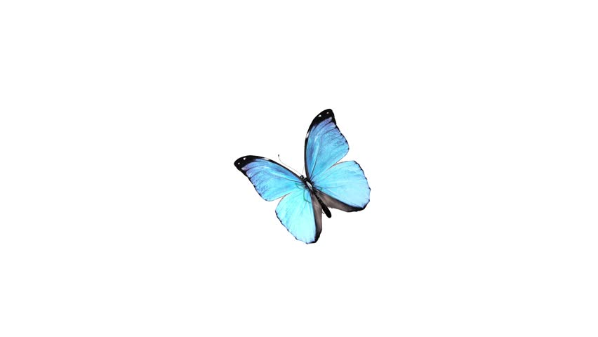 Butterfly Animation HD 1080p Alpha Channel Is Included