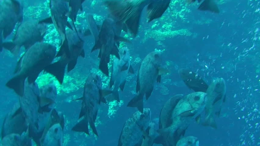 Large group of giant trevallies (caranx ignobilis) in the Red Sea  | Shutterstock HD Video #402715