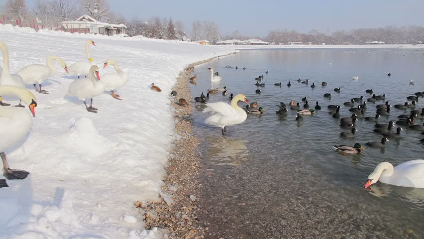 Panorama with swans at Jarun lake in Zagreb | Shutterstock HD Video #4036405