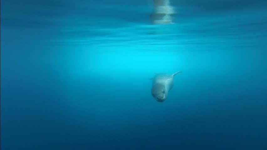 Leopard seal filmed under water, close-up shut, Antarctic Peninsula
