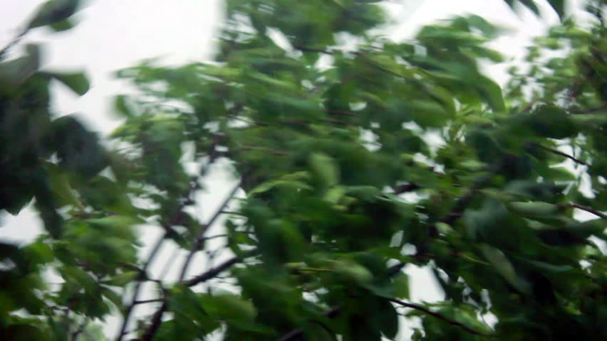 heavy rain, strong wind shakes the branches of trees, rain water drains