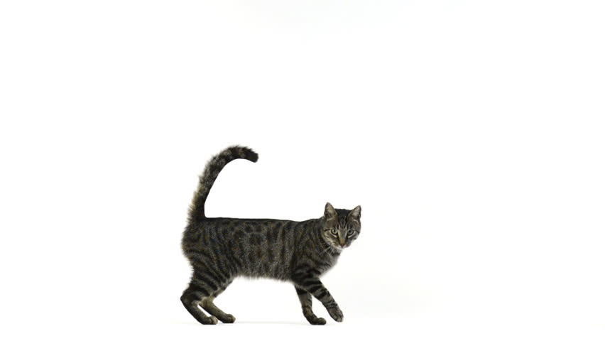Slow motion of a cat walking and looking at the camera