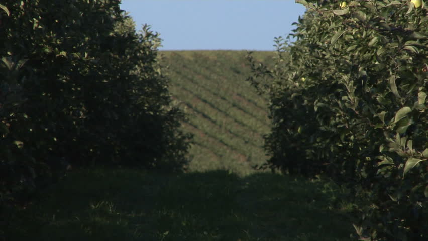 Rows of apple trees in an orchard hanging full of sweet green apples, zooming out between the rows