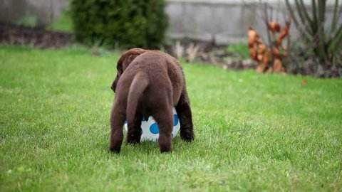 chocolate labrador puppy playing with a ball