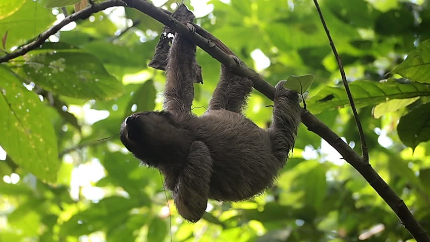 Young brown-throated sloth hanging from a branch in the jungle, Central America, Panama | Shutterstock HD Video #4154215