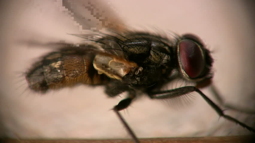 loopable side view of house fly cleaning itself shot in hi-def macro with amazing detail of head, abdomen, thorax, legs, wings, and hairs