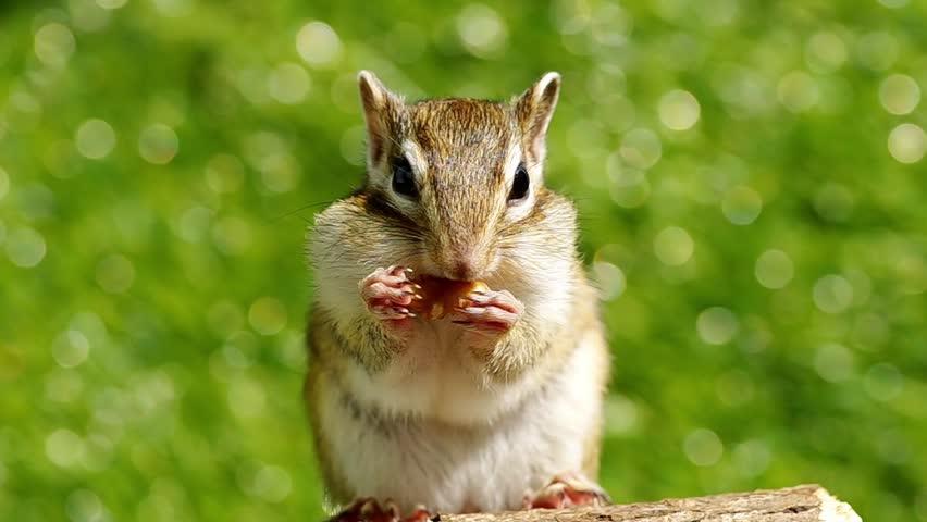 Cute Chipmunk eating walnut