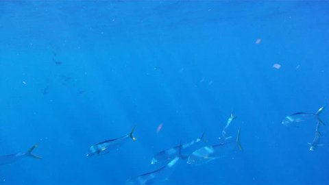 Mahi Mahi Underwater: 1080 HD footage of saltwater game fish Mahi Mahi, a.k.a. Dolphin or Dorado, free swimming in the clear blue water of the Atlantic Ocean off the Florida Coastline.