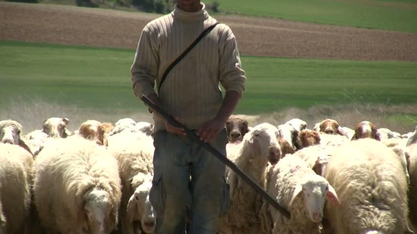Sheep Pastor Stock Video Footage