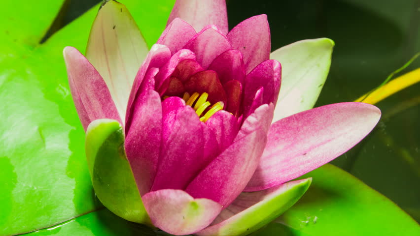 Time lapse opening of water lily flower.Motion #4305593