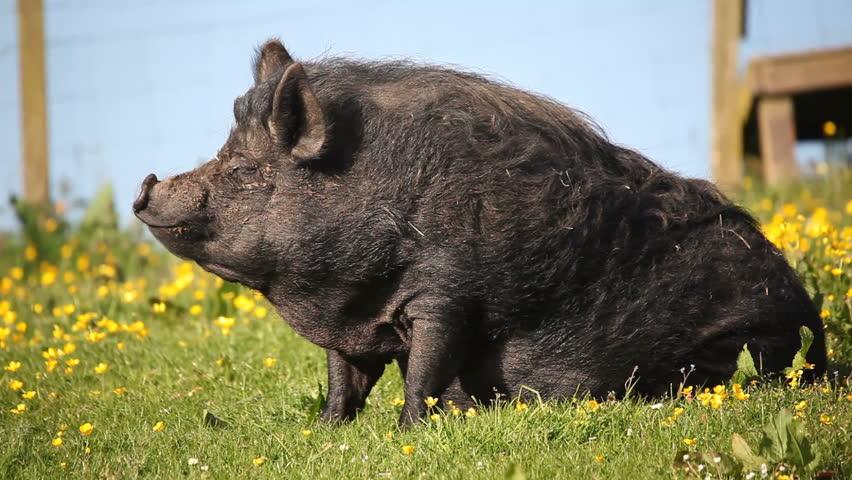 Black Kuni Kuni pig in a field turning to look at camera