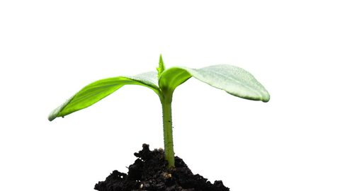 The growth of young green plants time lapse isolated
