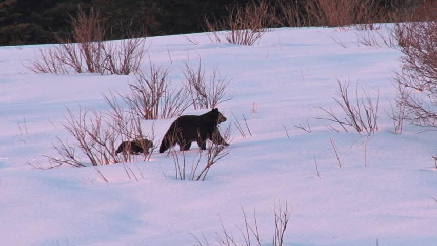 A black bear family treks across a snowy field after leaving their winter's den