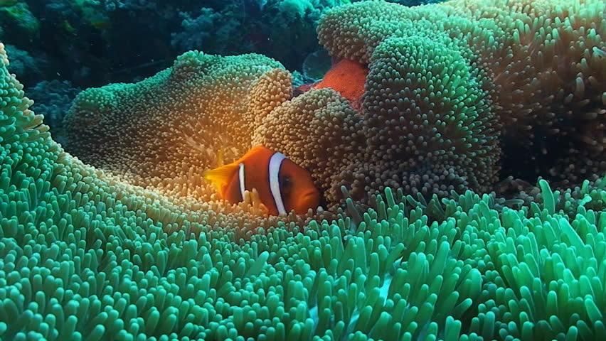 Clown fish in anemone, red sea | Shutterstock HD Video #4358690